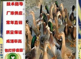 新闻:黔西兴仁鸡苗批发价格!喀什资讯