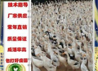 新闻:衡阳蒸湘鹅苗批发基地!恩施资讯