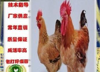 新闻:昭通水富鹅苗批发联系电话!绵阳资讯